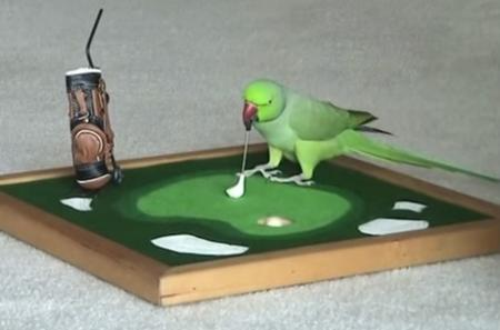 Golf in shock as budgerigar leads BMW