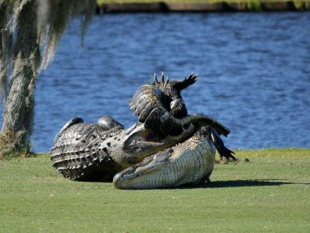 Gator Watch: Goliath Victorious!!!