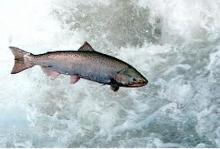 Reward for Salmon Savers