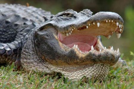 Gator fight!