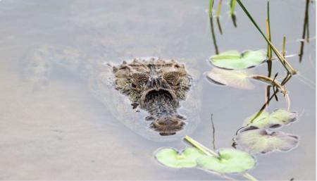 Crocodiles lurk on the Olympic course