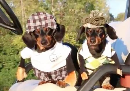 Say Hello To Crusoe The Golfing Dachshund