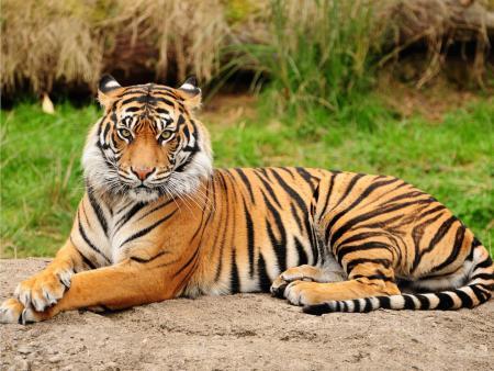 Where's Tiger?