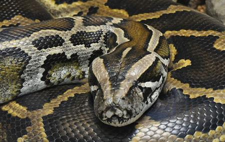 10 1/2 foot Burmese Python found on golf course