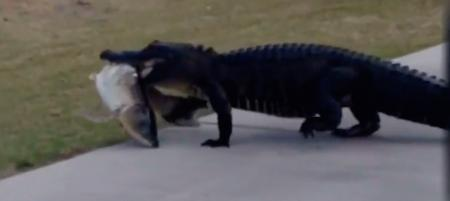 Watch alligator with his fish supper