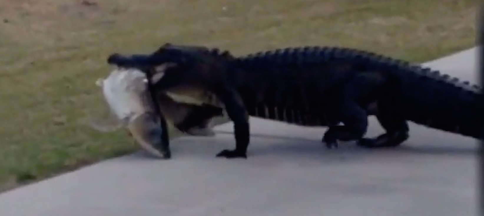 Alligator eats man's golf ball