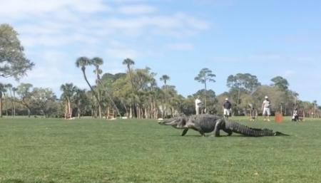 Alligator takes leisurely stroll
