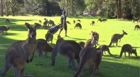 Kangaroos on the course