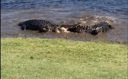 Alligator battle royale