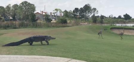 Giant gator stalks cranes