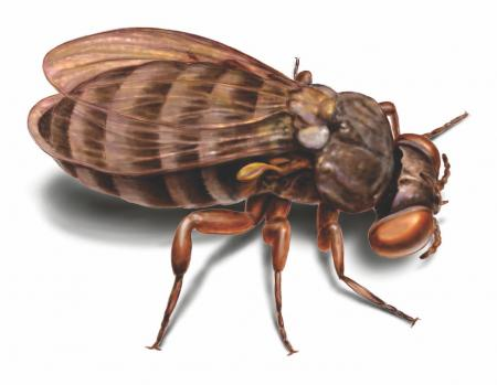Club issues Blackfly warning