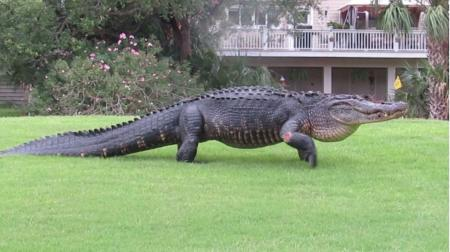 Thumping great Alligator