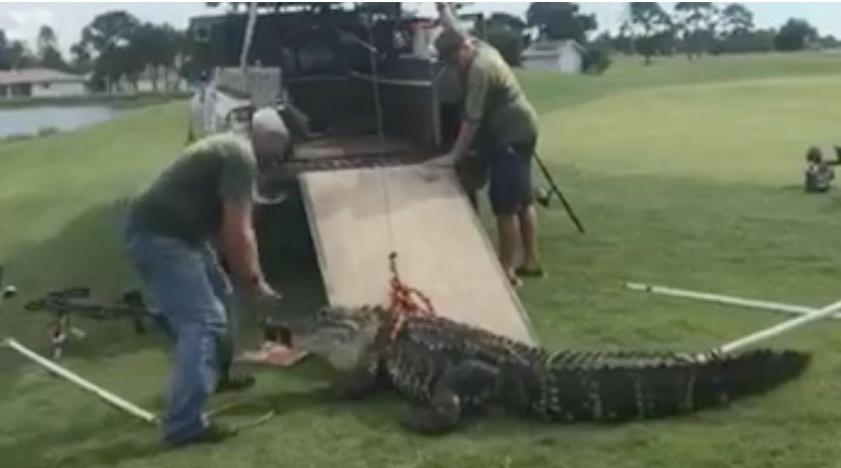 Gator attacks golf ball diver