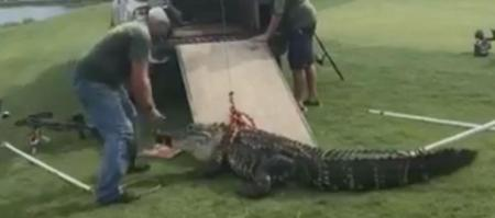 Gator attacks golf ball diver