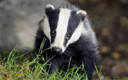 Badgers destroy golf course