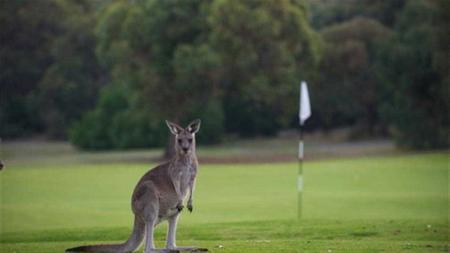 Kangaroo Fights Flagstick
