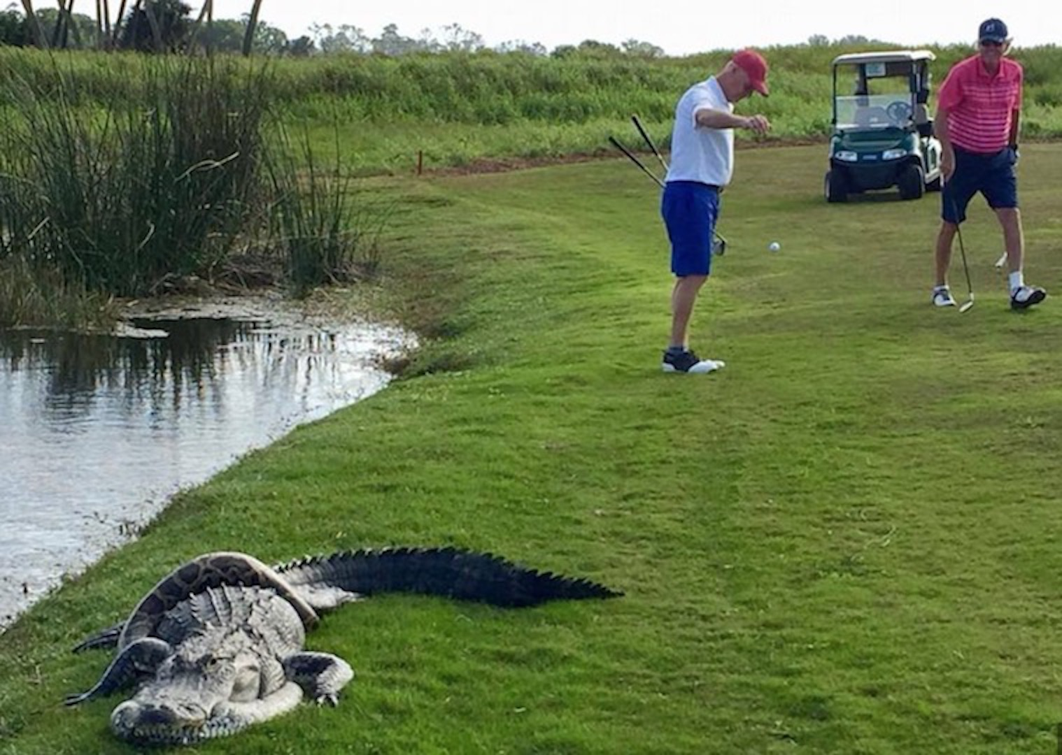 Alligator And Python Locked In Death Duel On Golf Course