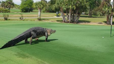 Jeremy Roenick leaps on golf course alligator
